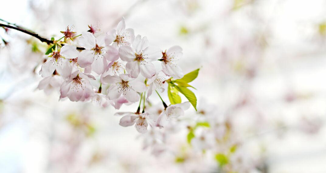桜の開花前線